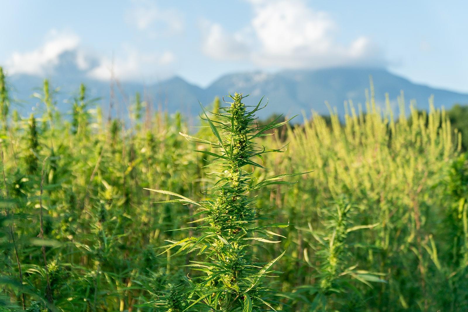 marijuana growing outside